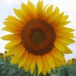 Як лікуватись за допомогою коріння соняшника
